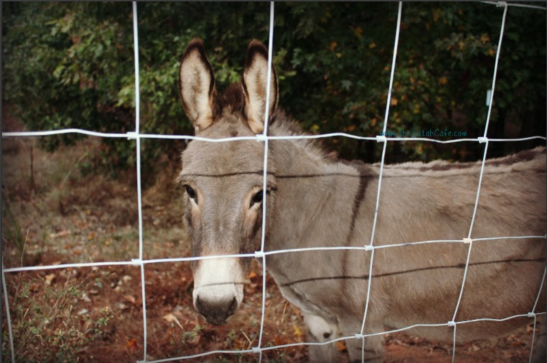 cavender-creek-donkey